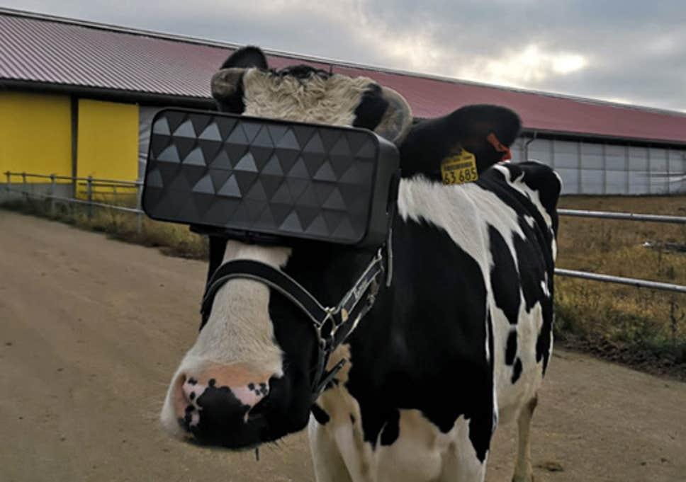 Vacas russas usam óculos virtuais