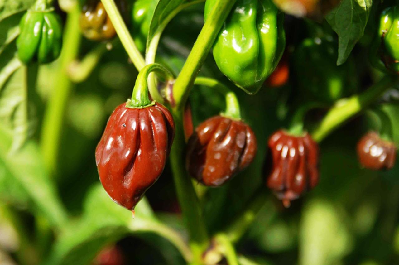 Sabe quais são as 5 pimentas mais picantes do mundo?