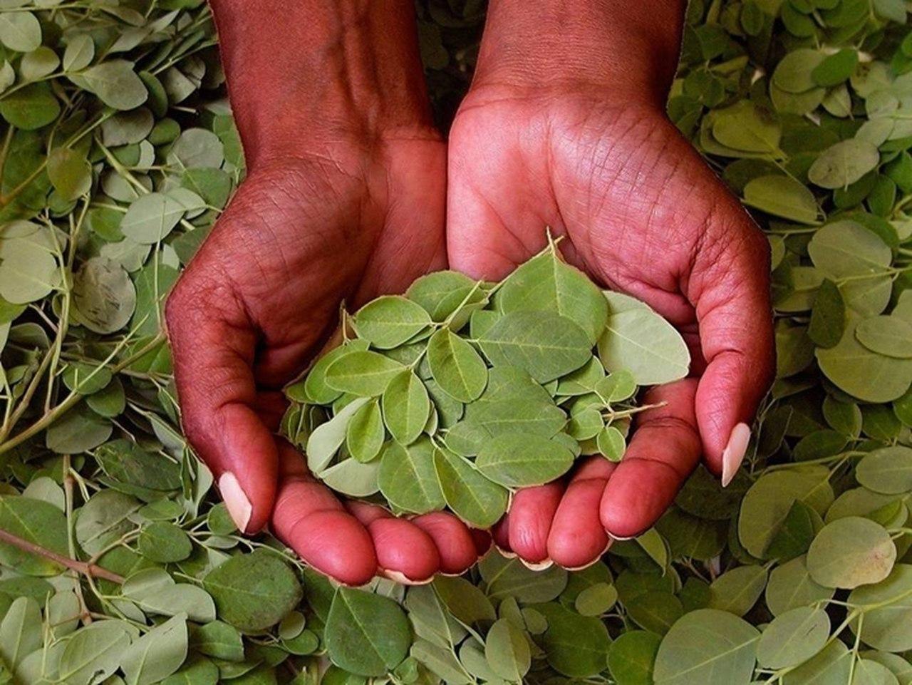 Benefícios da planta Moringa: na defesa do sistema imunitário