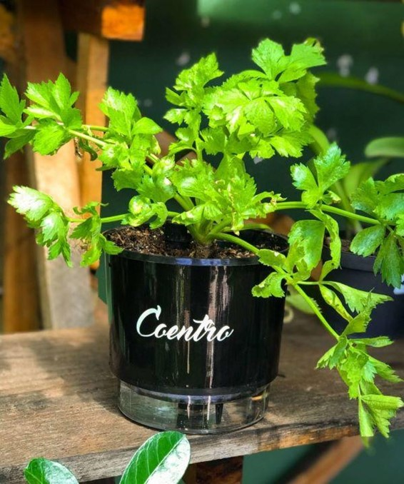 Plantas medicinais que pode cultivar em casa